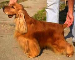 Psy myśliwskie, wybór rasy psów, pies