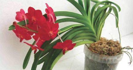 Orchid-винарския характеристики, видове и условия на подходящи грижи, на мястото на градина, вила и стая