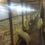 Gospodarstwo, hodować kurczaki korniszony, pole Carewo