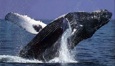 púpos bálnák paraziták