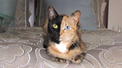 Двоколірна кішка стала інтернет-сенсацією