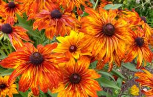 Jak sadzić i pielęgnować odmiany zdjęcia gelenum i instrukcje wideo