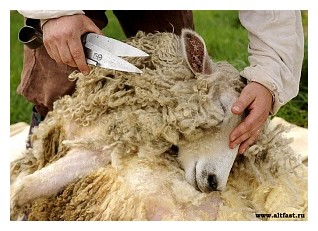 Стрижка овець - agrodelo