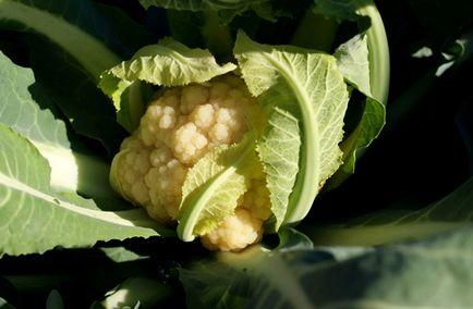 Цвітна капуста - як отримати багатий урожай! секрети садівників
