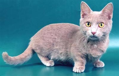 Манчкин історія породи - породи кішок