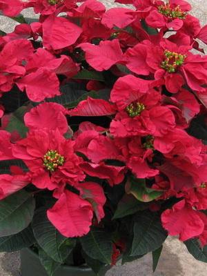 Jak dbać o piękną kwiatową poinsecję