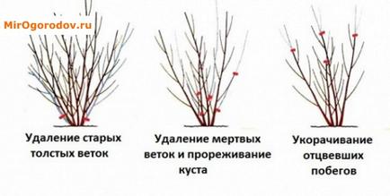 Форзиція особливості вирощування в помірному кліматі