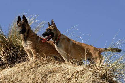 Бельгійська вівчарка малінуа опис породи собак, фото і відео матеріали, відгуки про породу