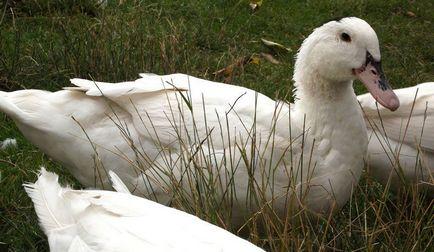 Муларди, качка гусак в домашніх умовах вирощування, розведення, утримання