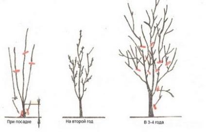 Як обрізати сливу - навесні, влітку, восени і взимку схема та інструкції