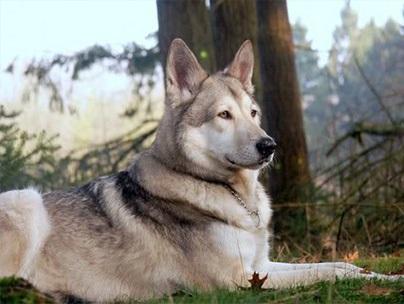 Небезпечні породи собак і причини їх небезпеки