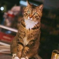 Рвані і різані рани у кішок (лікування гомеопатією) - все про котів і кішок з любов'ю