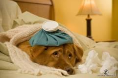 Grypa u psów - 23 stycznia 2014 r. - przydatne informacje - dam kociaka