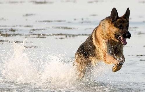 Охоронні собаки - вибирай на смак і колір - зоотерріторія