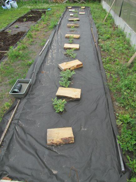 Jak uprawiać arbuzy