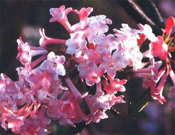 Список ароматно квітучих дерев і чагарників для вашого саду, мої ідеї для дачі та саду