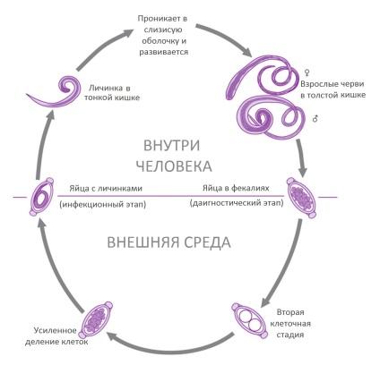 Az ostorféreg. Ostorféreg-fertőzés