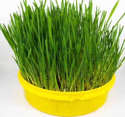 Jak pozbyć się szybko i na zawsze z trawy pszenicznej