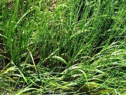 Jak pozbyć się trawy pszenicznej, 8 sposobów, piękno ziemi