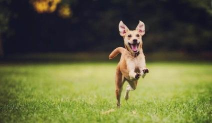 Мініатюрний бультер'єр - декоративна порода собак