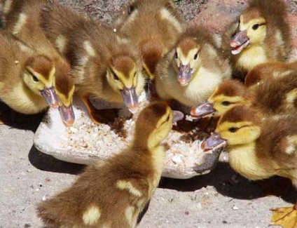 Вирощування качок як бізнес