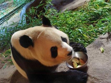 Де живуть панди в гості до бамбукового ведмедя