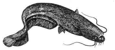 Сом - місця лову, методи лову, будова риб, риби