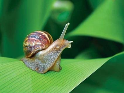Що їдять равлики раціон равликів в природному середовищі існування і домашніх умовах, ls