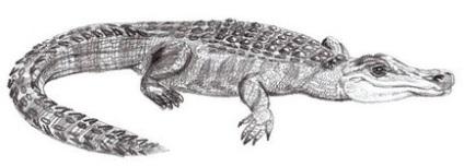 Jak Nakreslit Krokodyl Ve Fazich Kresleni Krokodyla S Tuzkou