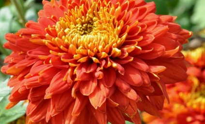 Хризантеми - посадка і формування, квіти в саду (садиба)