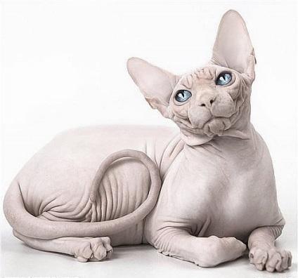 Мітять чи кішки сфінкси і як відучити їх, рудий кіт