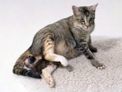 Період вагітності у кішок, мої домашні вихованці