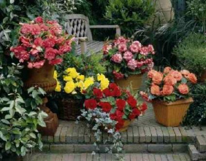 Jak dbać o begonię, właściwe sadzenie i rozmnażanie