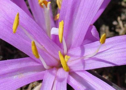 Бульбокодіум - трав'янисті рослини для відкритого грунту