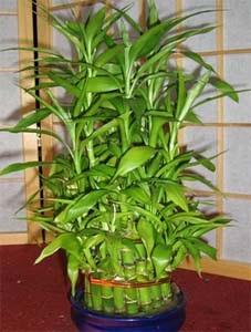Бамбук кімнатний - порятунок від негативу вашого будинку