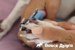 Как да се намали кучешки нокти у дома, ако не дойде и да хапе
