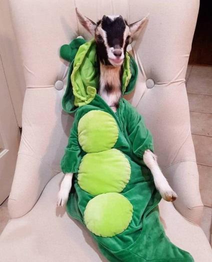 10 Забавних фотографій чарівною кози, яку врятував костюм качки