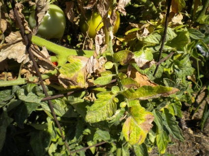Догляд за томатами в серпні в теплиці підгодівля, полив, фото помідорів, відео