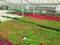 Догляд за однорічними квітами, світ розсади