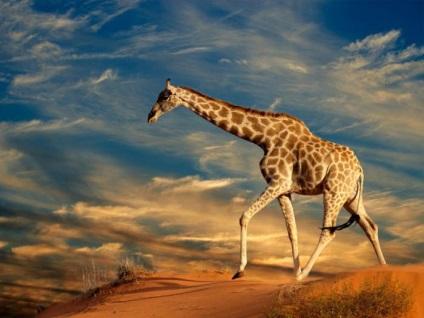 Висота жирафа, включаючи шию і голову