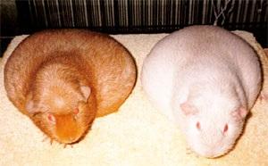 Розведення морських свинок в домашніх умовах