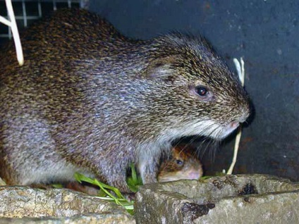 Найбільша щур в світі - фото і опис
