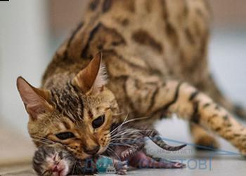 Що робити, якщо кішка переносить кошенят - відповіді і поради на твої питання