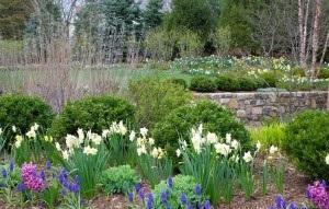 Як посадити цибулинні квіти, щоб досягти максимального декоративного ефекту