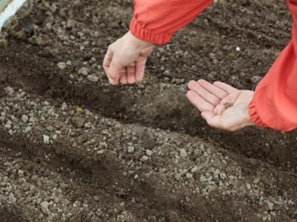 Насіння кропу підготовка до посіву, як замочувати, обробка, як і коли проростають, терміни і