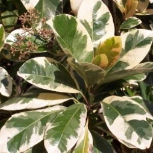 Дізнайтеся більше про Пізон, а також особливості догляду за рослиною в домашньому саду