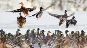 Де зимують птахи, велика охота