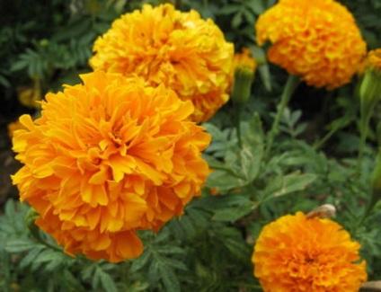 Квіти чорнобривці - прекрасні картинки і фотографії чорнобривців (оксамиток)