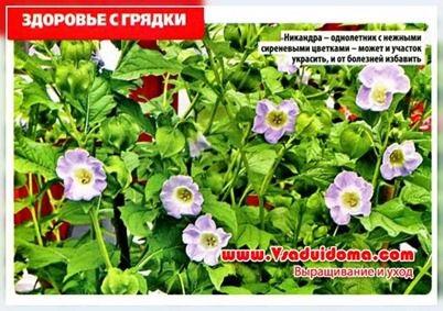 Квітка никандра (фото) - вирощування та корисні властивості, сайт про сад, дачі і кімнатних рослинах