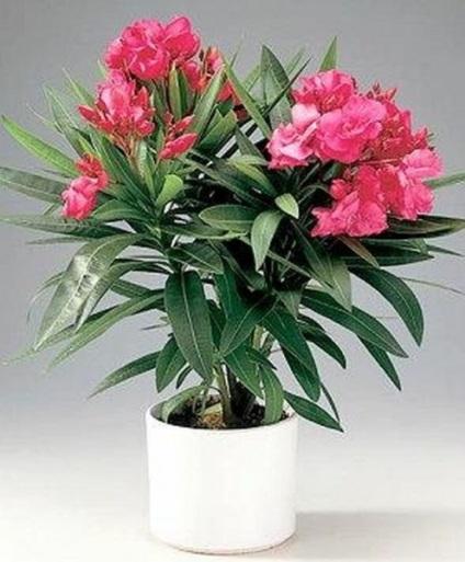 Домашні квіти, які не можна тримати вдома - фото, опис, феломена